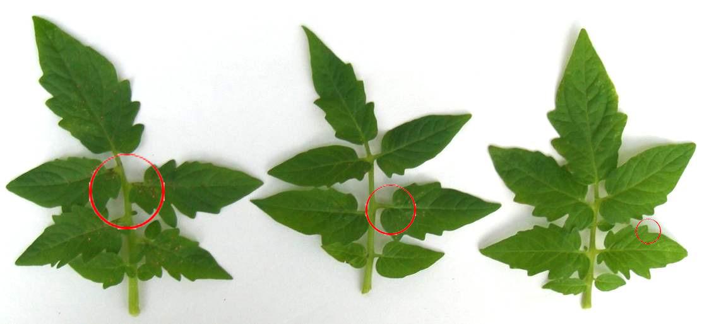 растения рапс фото